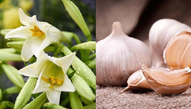Tỏi với hoa bách hợp cũng mang lại hiệu quả cực tốt khi dùng tỏi trị tàn nhang