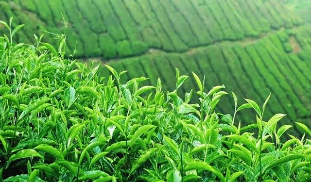 Lá trà xanh có tính sát khuẩn cao nên có thể sử dụng để điều trị viêm da cơ địa ở mặt
