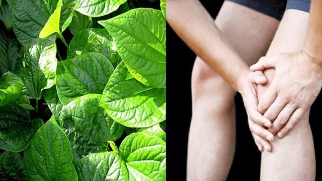 Công dụng của lá lốt trong chữa đau khớp