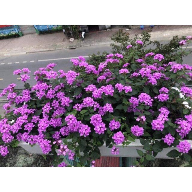 Hoa ngũ sắc